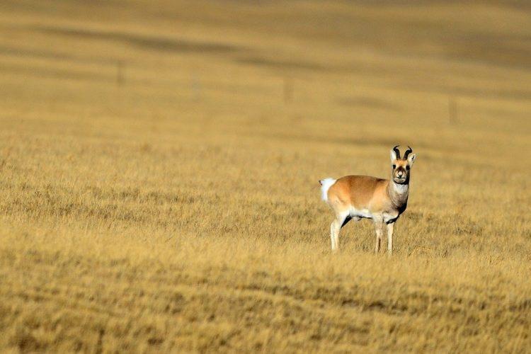 一隻普氏原羚在青海天峻草原上。 新華社