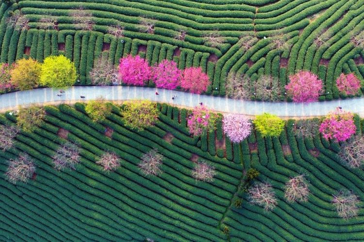 2月9日拍攝的漳平市永福鎮臺品櫻花茶園一景。 新華社