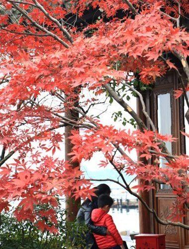 圖為杭州西湖邊的紅楓惹人醉。 中新社